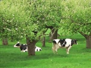 koeien-in-biologische-boomgaard